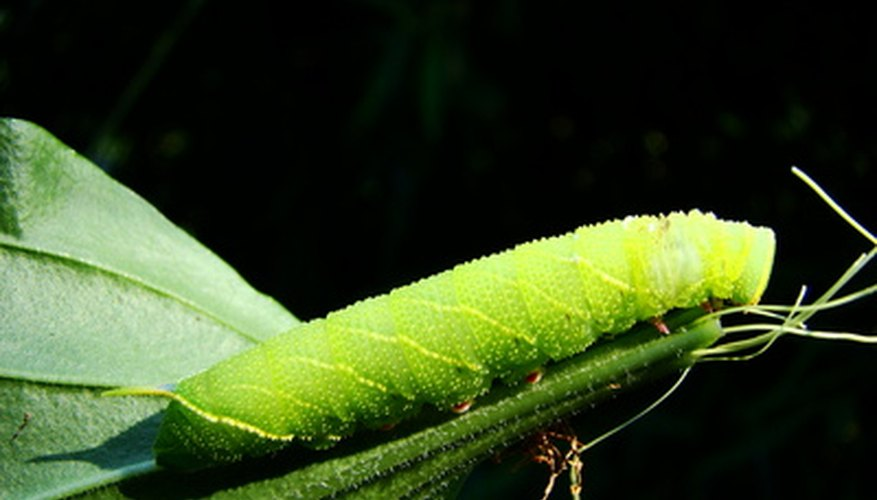 Caterpillars can cause major damage in gardens and on farms.