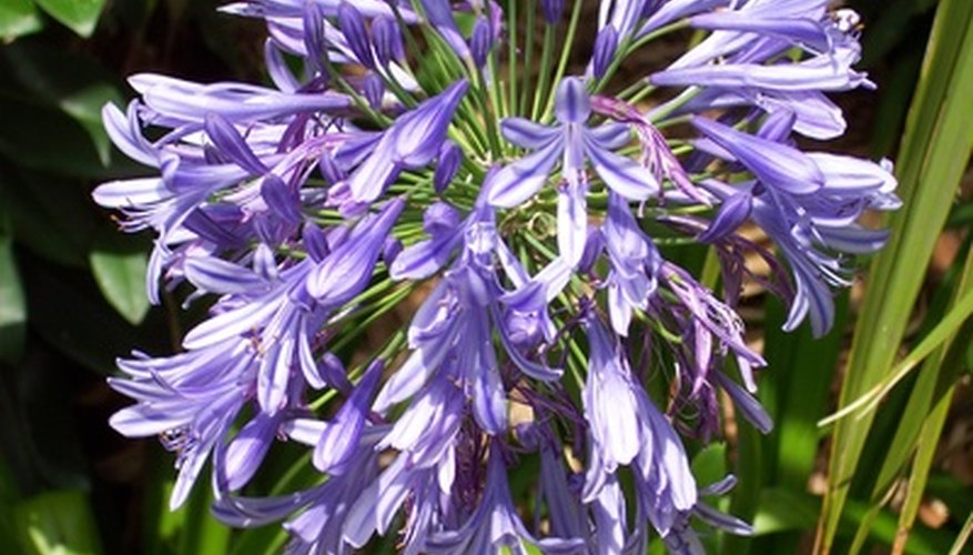 Agapanthus will fail to bloom in full shade.