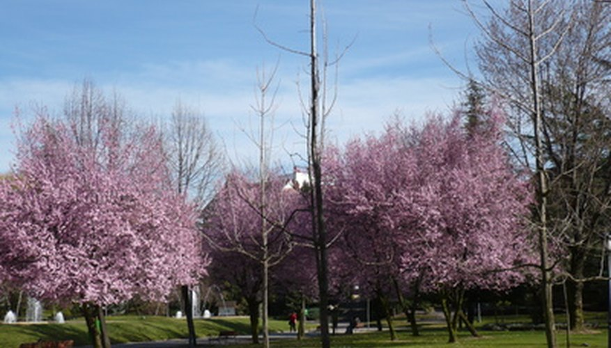 The flowering purple plum tree.