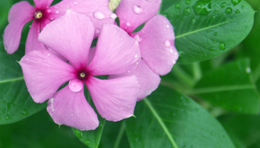 Madagascar periwinkle resembles impatiens, but loves heat and appreciates a drier soil.