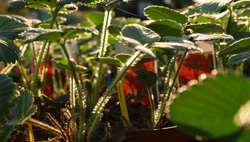 Strawberry plants can be uncovered when spring arrives.