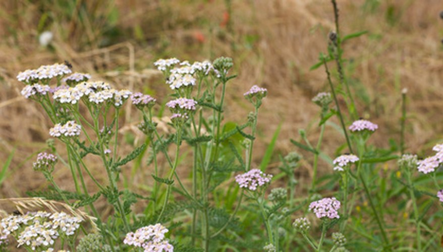 Yarrow provides interest for arrangements and material for home remedies.