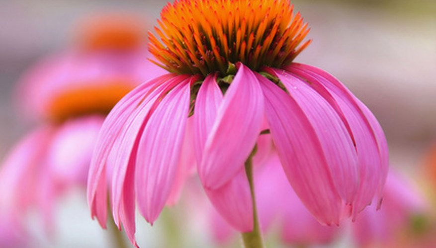 Purple coneflowers produce tall, striking flowers throughout most of the summer.