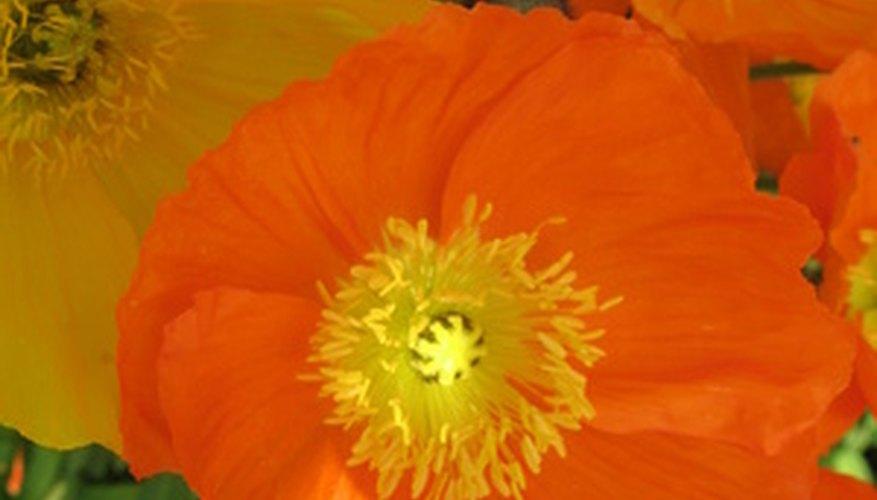 Iceland poppies thrive in cooler temperatures.