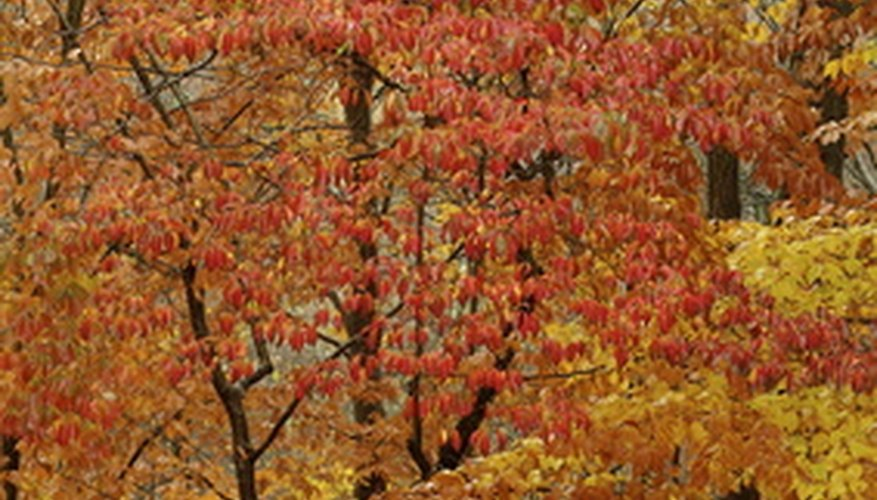 Dogwoods are one of the first trees to turn color in the fall.