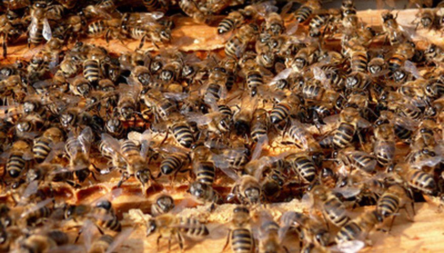 A hive can be split when the bees are plentiful.