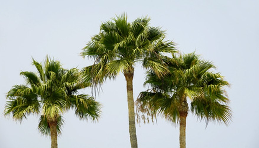 Tall, skinny Mexican fan palm towers over the landscape.