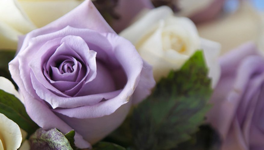 Purple roses are highly praised for their many beatiful shades.