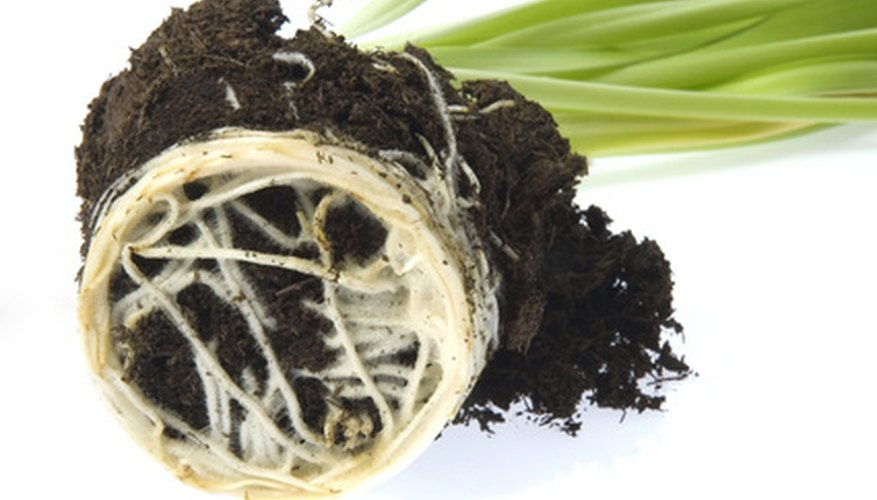 In hydroponics, roots grow in water, not soil.