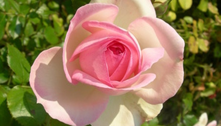 Rose bushes thrive if they're protected during the winter months.