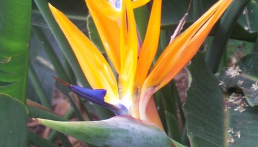 Bird of paradise plants look exotic, but aren't difficult to care for.