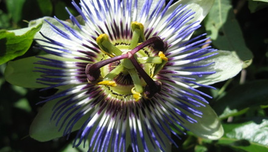 A blue passion flower in bloom.