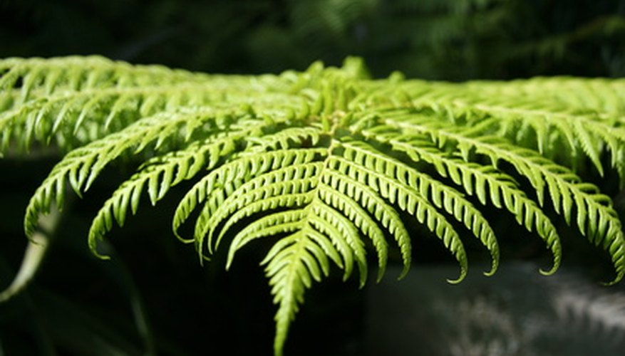 Foliage of the Australian tree fern