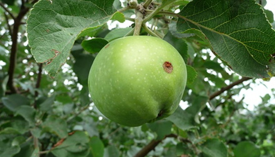 Powdery mildew is among the diseases that can attack apple trees.