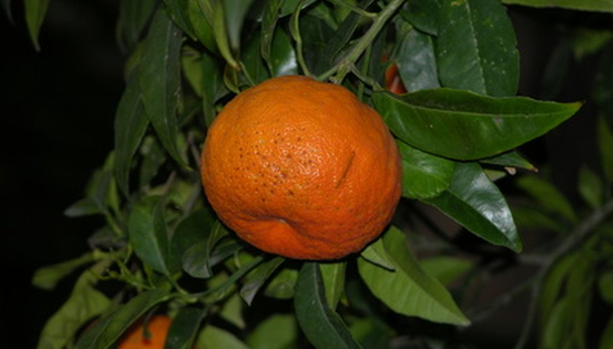 Healthy tangerines on a tree.