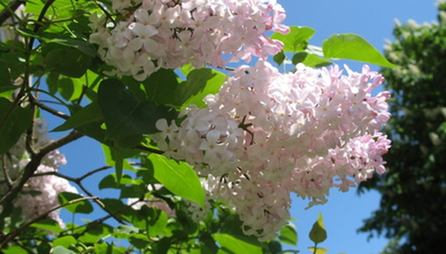 Lilacs require little care once established but need full sun to bloom.