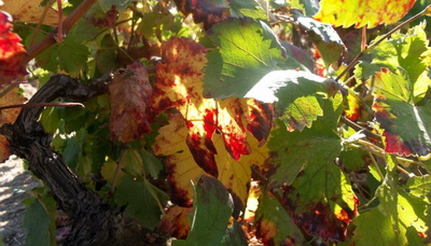 Grape vines produce shade when you grow them on arbors.