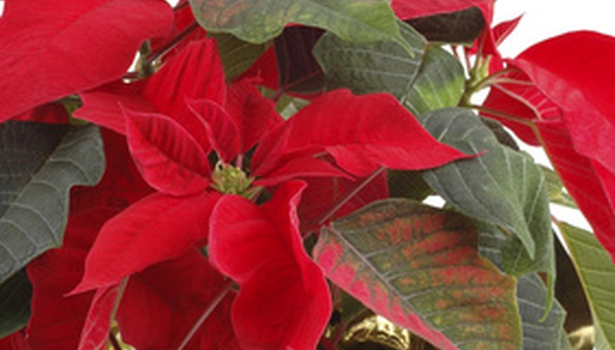 The poinsettia is poisonous.