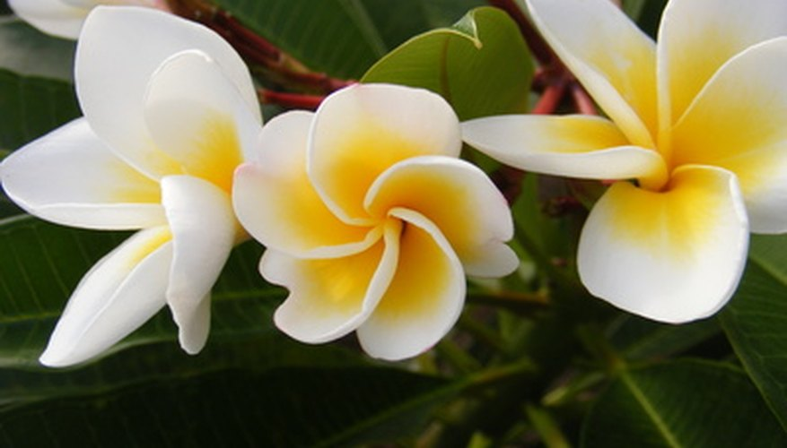 Frangipani has fragrant flowers and grows throughout the Bahamas.