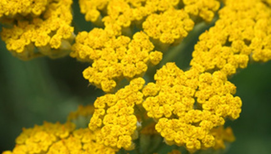 Gardeners value the mimosa acacia for the bright, early spring flowers.