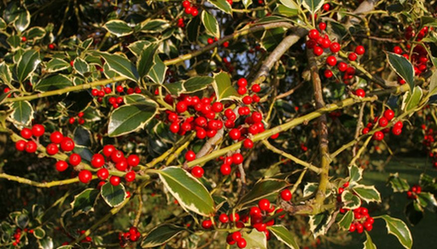 The holly tree features brilliant red berries