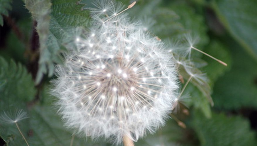 Wind-carried seeds form from old dandelion flowers.