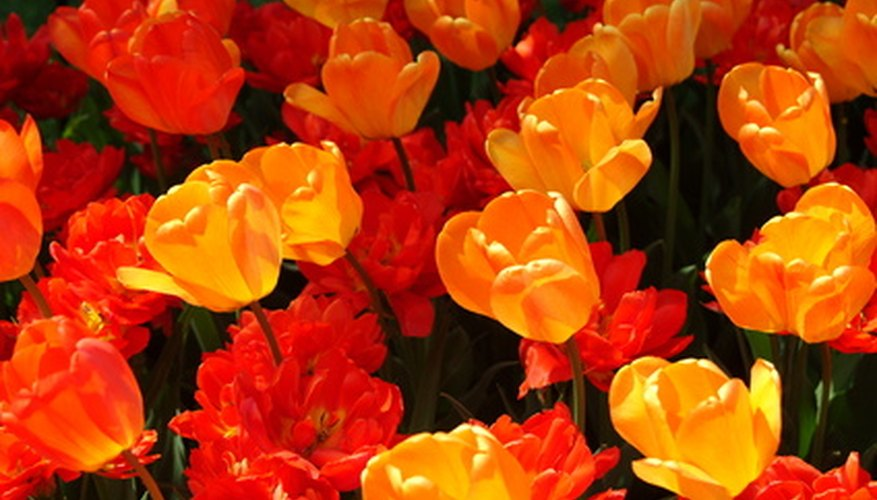 Brightly colored tulips are a welcome symbol of spring and Easter.