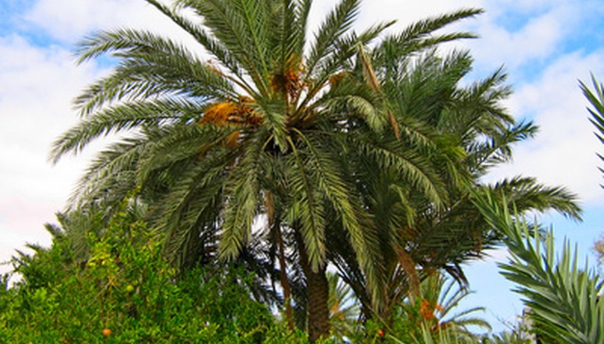 The Canary Island date palm.