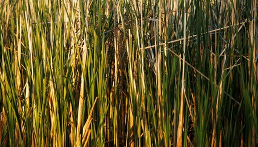 Giant reed grass was introduced to the U.S. in the 19th century.