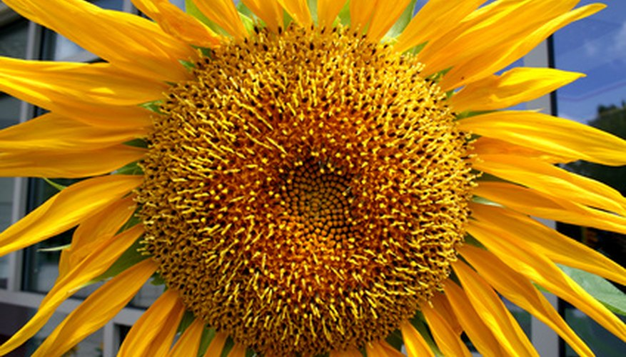 The sunflower head comprises thousands of ray and disc florets.