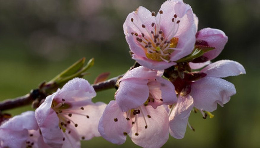 Peach trees bloom in a variety of colors.