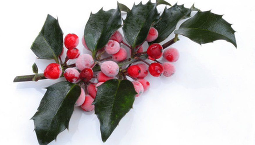 Burford holly shrubs provide color throughout the year.