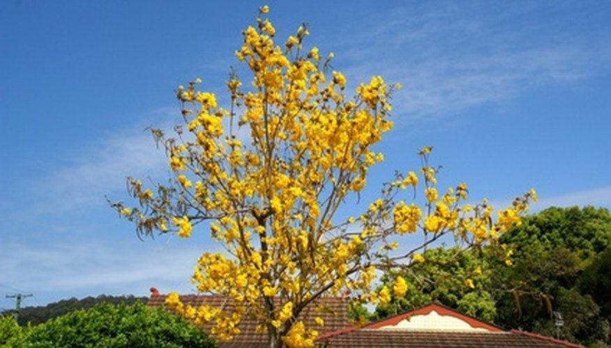 Jamaican Flowering Tree