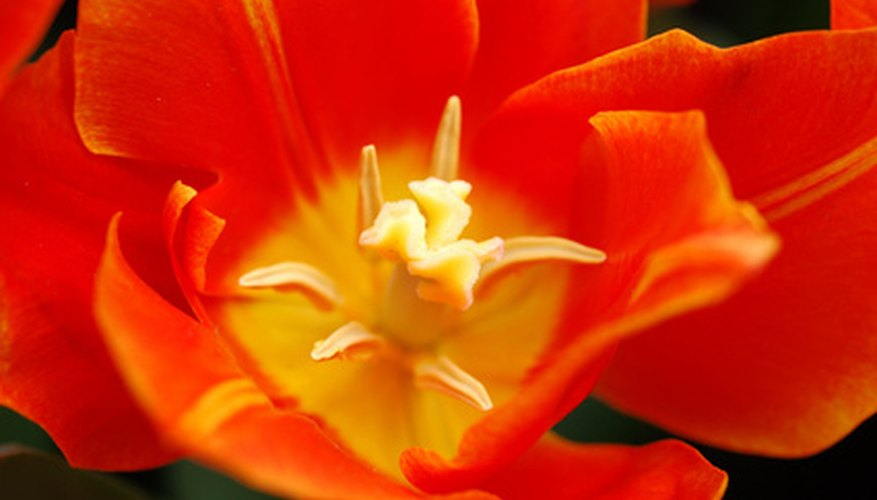 The very center of the tulip contains the stigma at the end of the pistil for accepting pollen.