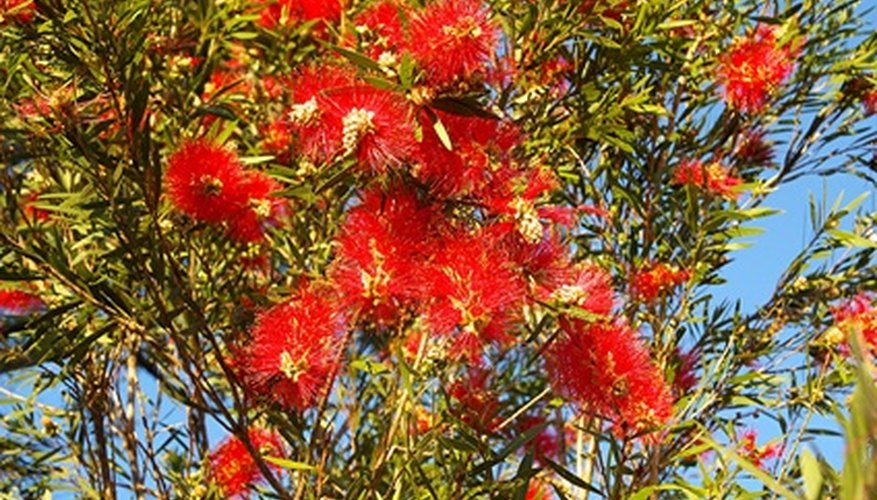 Bottlebrush is a brilliant, colorful flowering plant species native to Australia.