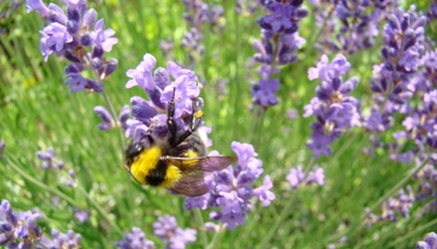 Lavender plants come in a variety of species.