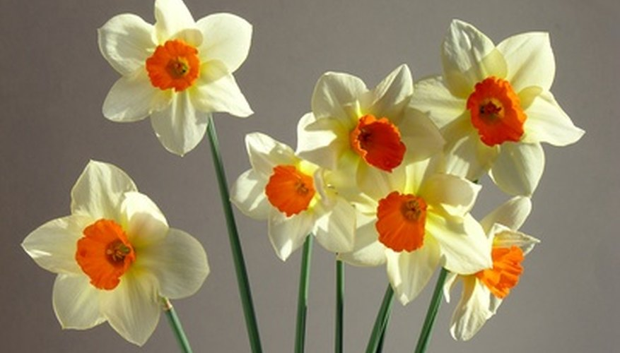 Daffodils blooming in spring.