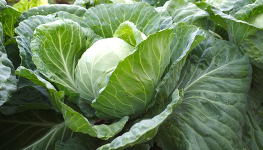 Fresh cabbage is sweet and tender.