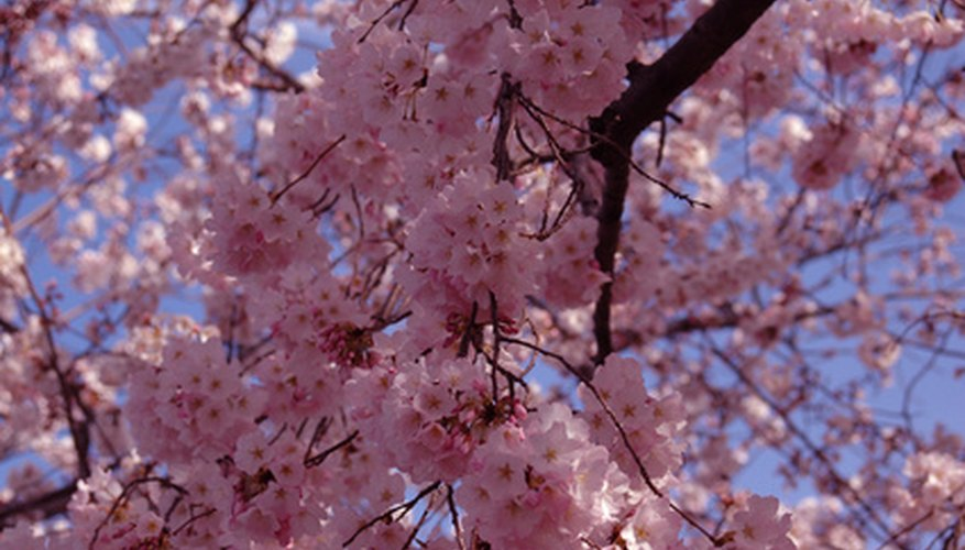 Pink flowers of a weeping cherry tree