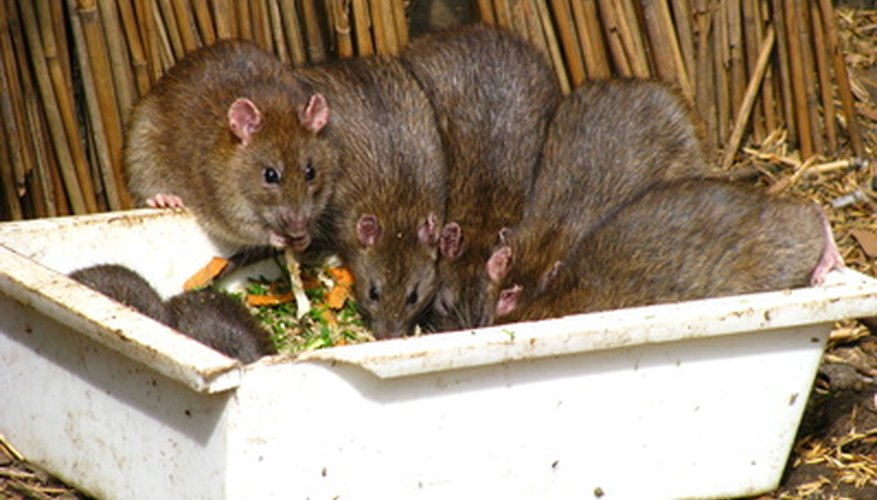 Avoid putting meat scraps in your worm bin, which can attract rats and mice.
