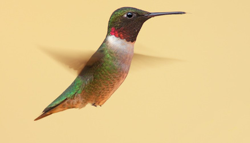 The ruby-throated hummingbird is the most common species found in Florida.