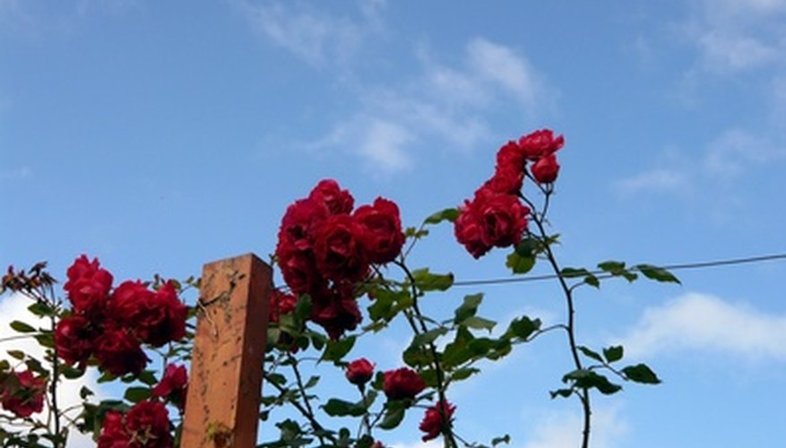 Deadhead climbing roses to keep them blooming.