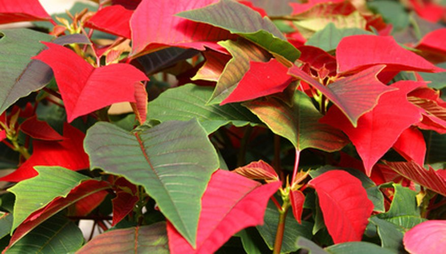 Poinsettia's poisonous leaves