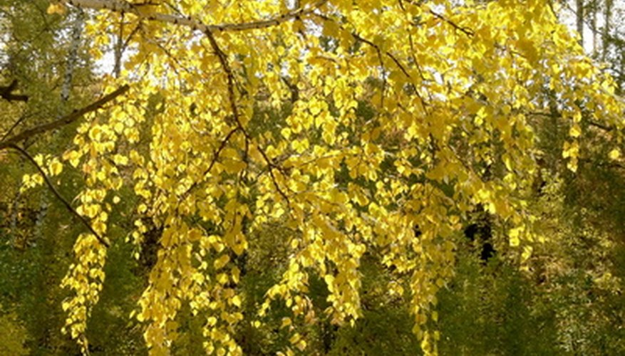 Birch leaves naturally turn yellow in the fall.