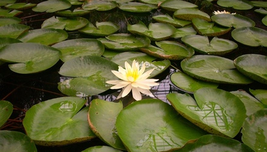Water lilies are not related to lilies that grow on land.