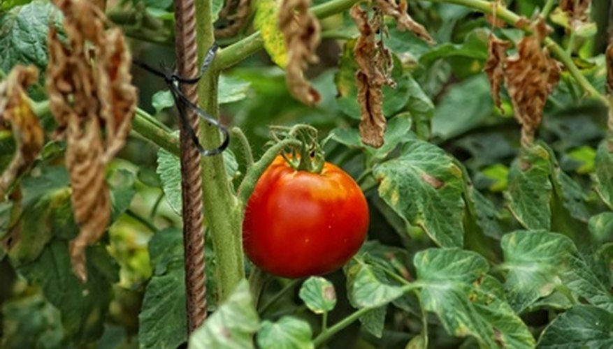 A ripe tomato growing on a mature bush.