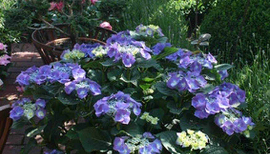 You can control soil pH for a container-grown hydrangea.