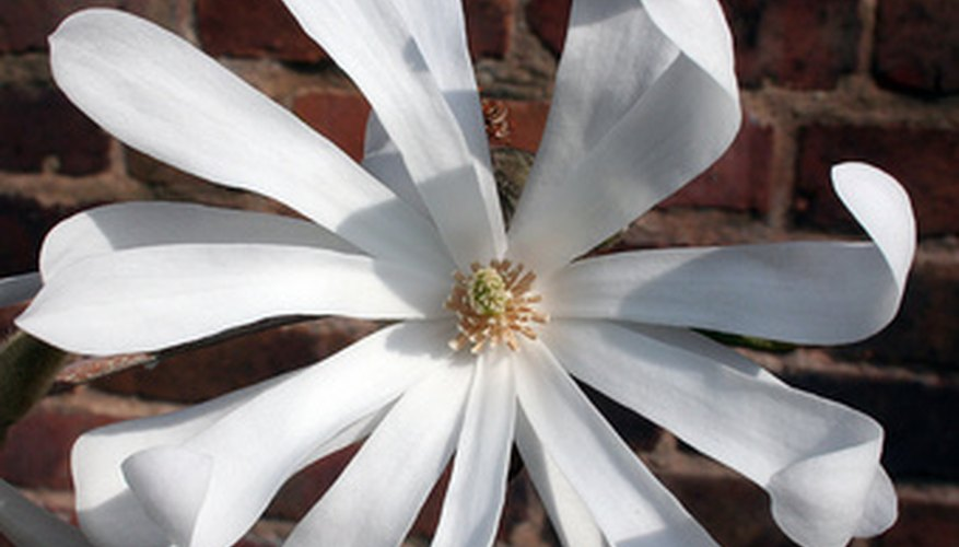A healthy star magnolia bush flower