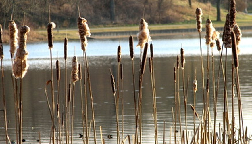 Cattails grow in shallow lake water.
