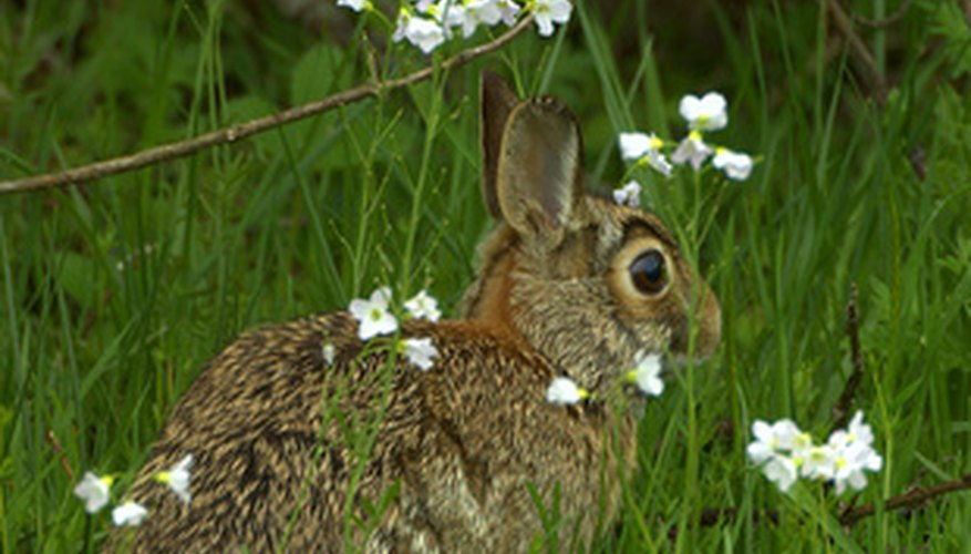 Cottontail rabbit on the alert for danger
